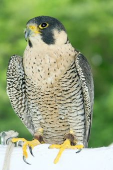 Free Peregrine Falcon Stock Photography - 1118552