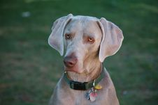 Free Weimaraner Royalty Free Stock Photo - 11103575
