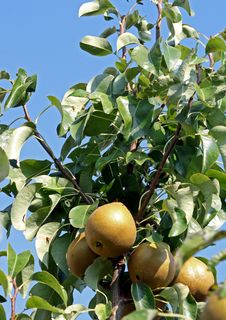 Free Pears Royalty Free Stock Photo - 11106375