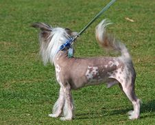 Chinese Crested Hairless Dog Stock Photo
