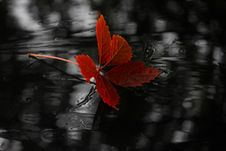 Free Red, Black, Flora, Black And White Stock Photo - 111026100