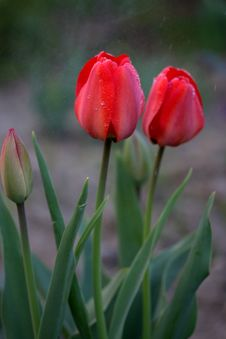 Free Flower, Tulip, Plant, Bud Royalty Free Stock Images - 111026319