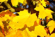 Free Leaf, Yellow, Maple Leaf, Autumn Royalty Free Stock Images - 111026529