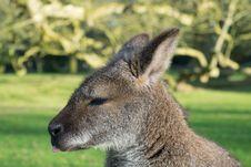 Free Wallaby, Wildlife, Kangaroo, Macropodidae Royalty Free Stock Photos - 111027048