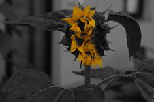 Free Flower, Black And White, Plant, Yellow Stock Image - 111027841