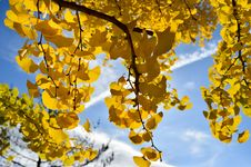 Free Yellow, Tree, Maidenhair Tree, Woody Plant Stock Photo - 111028080