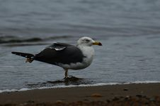 Free Bird, Gull, Seabird, European Herring Gull Stock Images - 111028354