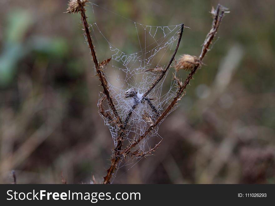 Spider Web, Spider, Invertebrate, Arachnid