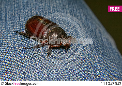 Free May Bug On A Summer Evening Stock Photography - 111047542