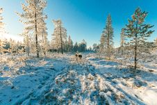 Free Animals Walking On Snow Covered Forest Stock Photos - 111070223
