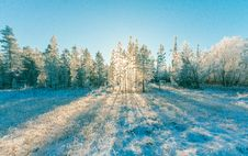 Free Pine Trees Under Blue Sky Royalty Free Stock Photography - 111070267