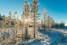 Free Pine Trees Field With Snow Royalty Free Stock Photos - 111070298