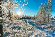 Free Pine Trees In Winter Stock Photography - 111070302