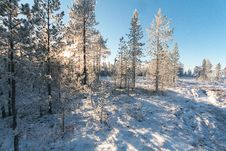 Free White Pine Trees Stock Images - 111070304