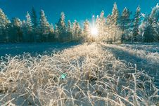 Free Photo Of White Pine Trees Royalty Free Stock Images - 111070319