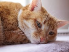 Free Cat, Whiskers, Skin, Small To Medium Sized Cats Stock Photo - 111108520