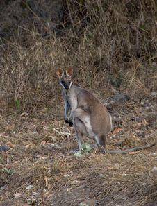 Free Wallaby, Wildlife, Macropodidae, Fauna Royalty Free Stock Photos - 111108928
