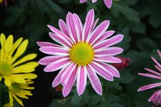 Free Flower, Flora, Marguerite Daisy, Plant Royalty Free Stock Photos - 111110008
