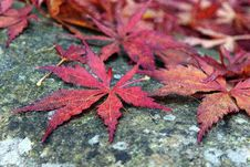 Free Maple Leaf, Leaf, Plant, Tree Royalty Free Stock Images - 111110269