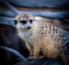 Free Meerkat, Mammal, Fauna, Whiskers Stock Images - 111110514