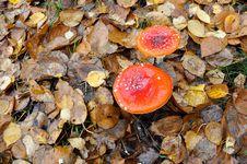 Free Mushroom, Fungus, Medicinal Mushroom, Edible Mushroom Stock Images - 111110594