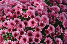 Free Flower, Plant, Pink, Flowering Plant Stock Images - 111110604
