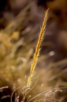 Free Close Up, Grass Family, Grass, Grain Stock Images - 111110674