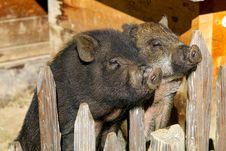 Free Pig Like Mammal, Pig, Wild Boar, Mammal Stock Photos - 111110883