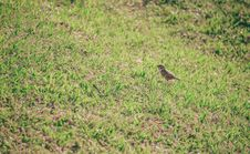 Free Brown Bird On Grass Lawn Stock Images - 111170244