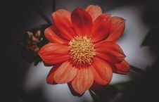 Free High Angle Photography Of Red Daisy Flower Stock Images - 111170354