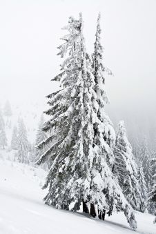 Free Snowy Pines Stock Images - 11122504