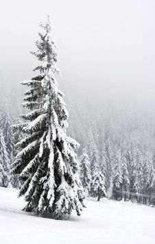 Free Snowy Pines Royalty Free Stock Photo - 11122505