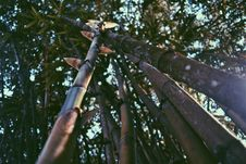 Free Worm S Eye View Of Bamboos Royalty Free Stock Photography - 111217227