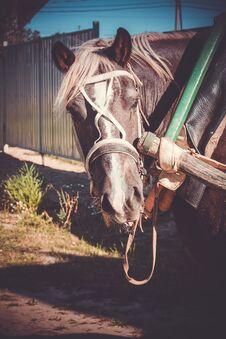 Free Portrait Of Harnessed Horse Retro Stock Image - 111288281