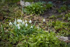 Free Snowdrops In The Garden Stock Photo - 111288690