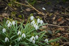 Snowdrops In The Garden Stock Images