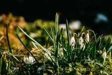 Free Snowdrops In The Garden Royalty Free Stock Image - 111288736