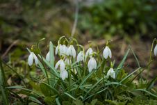 Snowdrops In The Garden Royalty Free Stock Image
