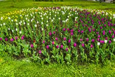 Free Tulips Blooming In The Flowerbed Royalty Free Stock Photo - 111289215
