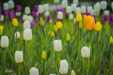 Free Tulips Blooming In The Flowerbed Royalty Free Stock Image - 111289316