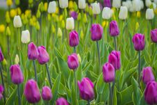 Free Tulips Blooming In The Flowerbed Royalty Free Stock Photos - 111289438