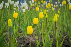 Free Tulips Blooming In The Flowerbed Royalty Free Stock Photography - 111289477