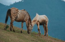 Free Brown And Black Zebra Beside White Horse Royalty Free Stock Photos - 111364598