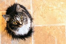Free Black And White Maine Coon Cat Stock Photos - 111364683