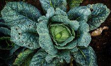 Free Leaf, Leaf Vegetable, Savoy Cabbage, Cabbage Stock Photo - 111418510