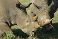 Free Wildlife, Rhinoceros, Terrestrial Animal, Horn Royalty Free Stock Photography - 111418997