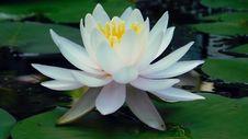Free Flower, Plant, Sacred Lotus, Lotus Stock Photo - 111419110
