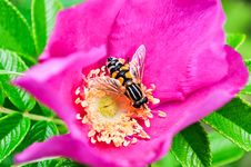 Free Flower, Nectar, Bee, Honey Bee Royalty Free Stock Photos - 111419138