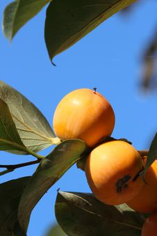 Free Fruit, Fruit Tree, Orange, Citrus Stock Photo - 111419170
