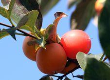 Free Fruit, Fruit Tree, Plant, Diospyros Stock Photography - 111419272